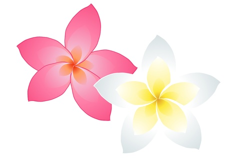 illustration of two frangipani flowers isolated on white      Vector