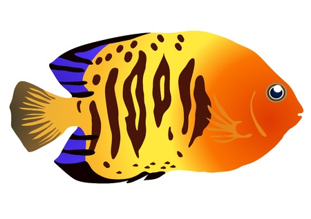 colorful fish: illustration of colorful tropical fish