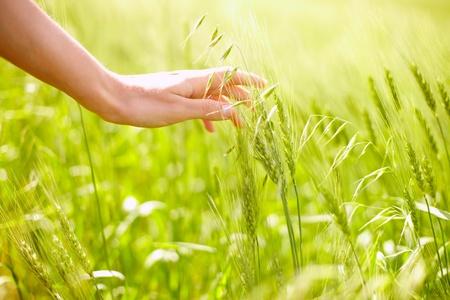 Horizontal image of human hand touching green wheat ears on field