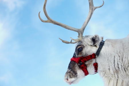 santa moose: Side view of reindeer's head