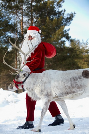 Santa Claus walking with his reindeer in the wood  photo