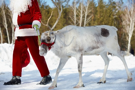 Santa Claus leading his reindeer in the wood  photo