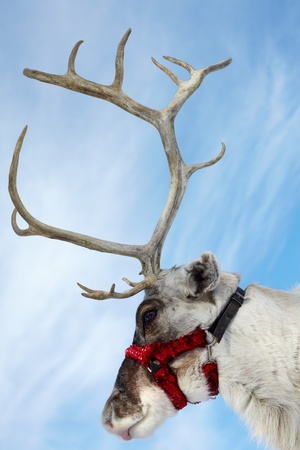 santa moose: Side view of a muzzle of reindeer