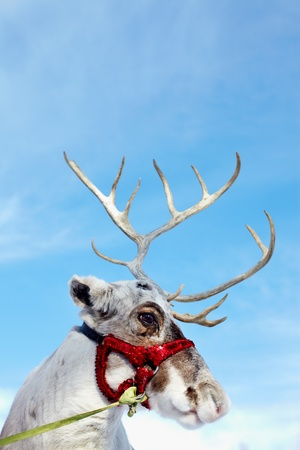 Side view of reindeer's head in harness  photo