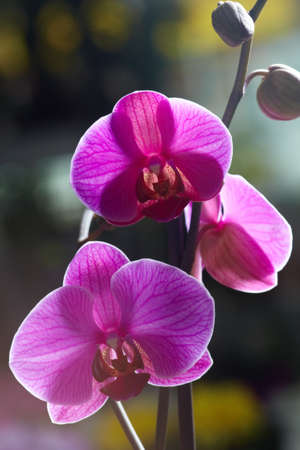 Close-up of bright violet orchids photo