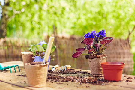 replant: Garden pots and violets on wooden table with tools and soil near by
