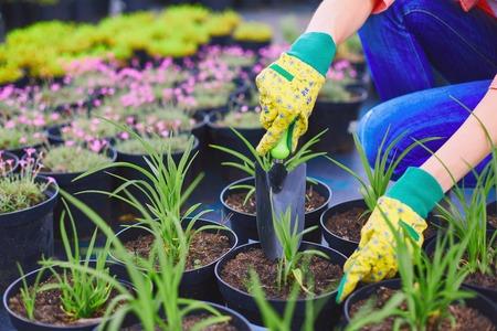 replanting: Female in gloves replanting seedlings in the garden