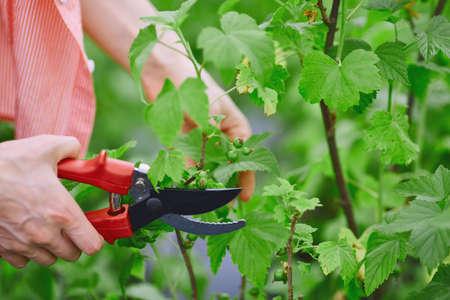 blackcurrant: Female gardener cutting blackcurrant branches