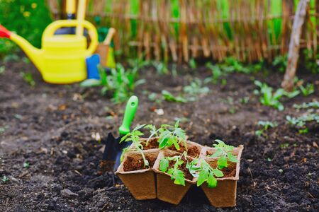 replanting: Tomato seedlings in small peat pots ready for replanting