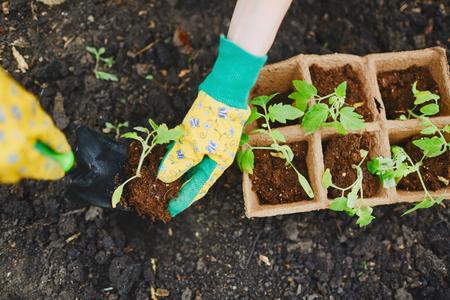 replanting: Female farmer replanting tomato seedlings Stock Photo