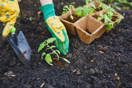 replanting: Gardener in gloves replanting tomato seedlings