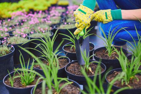 replanting: Gloved gardener with special tool replanting green seedlings