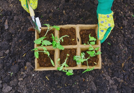 replanting: Female farmer with small gardening tool replanting sprouts Stock Photo