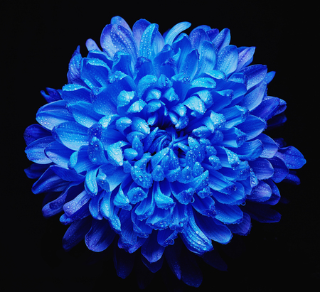blue petals: Low key of blue chrysanthemum with water drops on its petals Stock Photo