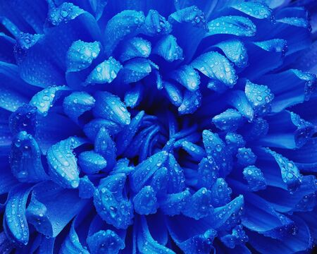 blue petals: Fresh blue chrysanthemum with water drops on petals Stock Photo
