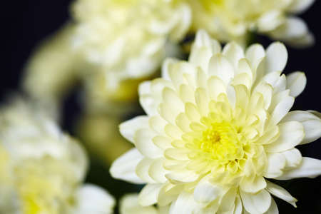 macro image: Macro image of white chrysanthemum