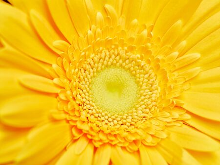 Pith of fresh yellow gerbera
