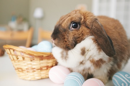lop eared: Easter bunny sitting by painted eggs