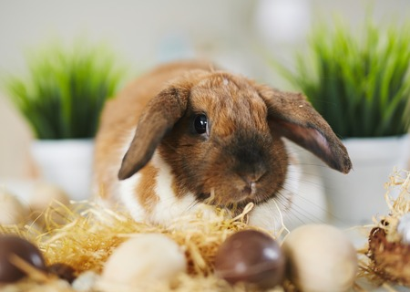 lop eared: Adorable Easter rabbit and eggs Stock Photo