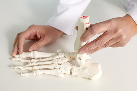 foot model: Close-up of foot bone model in hands of doctor Stock Photo