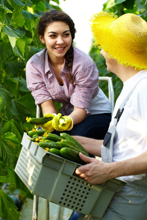 Two farmers gathering cucumbers in garden center photo