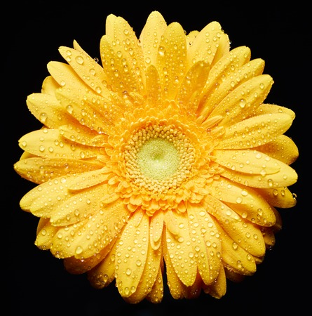 Yellow chrysanthemum with water drops on petals