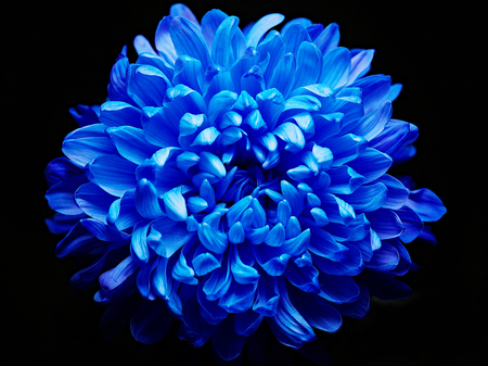 Blue dahlia isolated over black background
