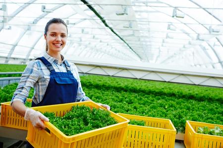 Harvest of lettuce