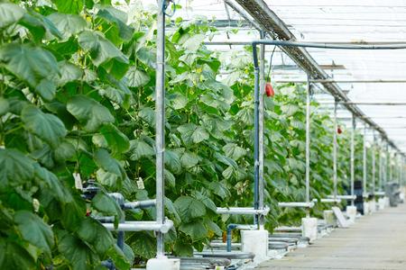 Plantation of cucumbers