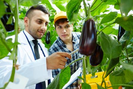 Showing eggplants