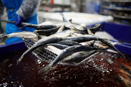 Fresh sardines being taken out of water for processing and further canning