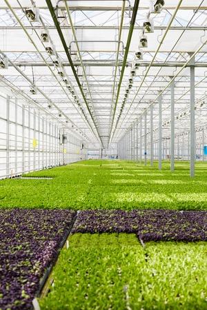 Lettuce plantation
