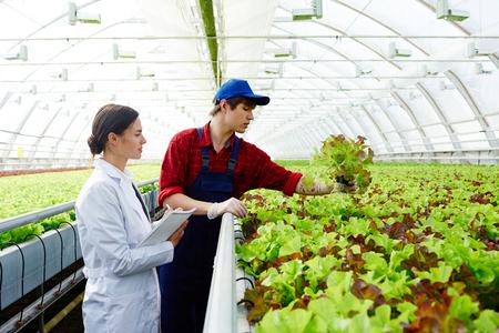 Sorting lettuce