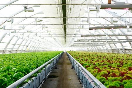 Lettuce in glasshouse