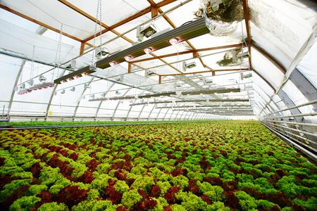Lettuce field Stockfoto