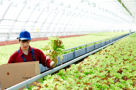 Young caucasian man in green uniform drinking lettuce in large greenhouse and putting it into box Stock Photo