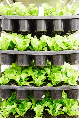 Pots with young fresh lettuce grown in industrial greenhouse, close-up view
