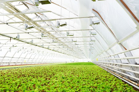 Spacious industrial greenhouse with healthy organic green leaf lettuce growing in soil Stock Photo