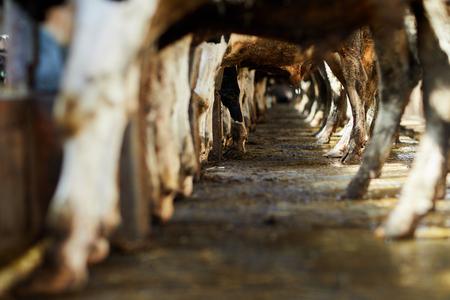Cow legs