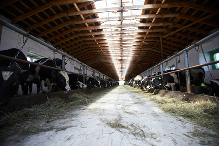 Cows at Farm Stockfoto