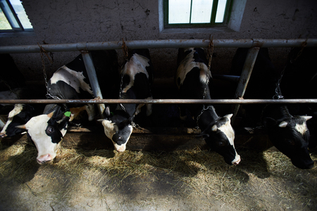 Cows in Farm Shed
