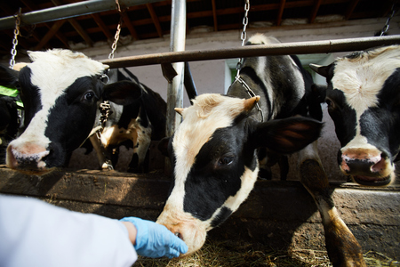Healthy Cows in Shed Stockfoto