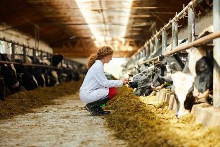 Junge Frau, die Kühe kümmert Standard-Bild