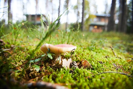 Close-up of toadstool mushroom growing on green lawn with leaves, twigs and pine cones in forest Фото со стока