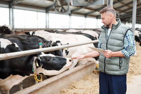 Professional milk cow carer with digital tablet standing by group of livestock