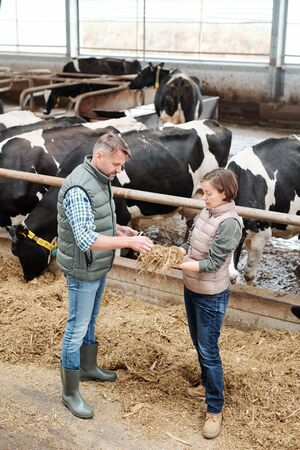 One of young workers of large dairy farm showing her colleague sample of hay Stock Photo