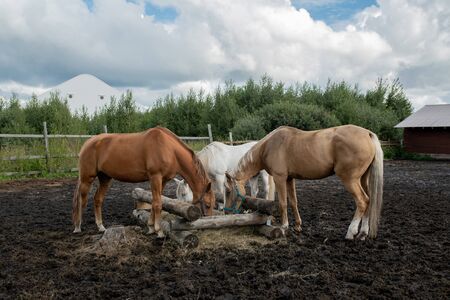 Three young purebred mares standing by wooden trough and eating at rancho Stock Photo