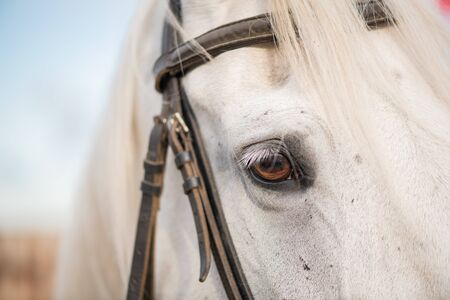 Right eye and mane of white purebred racehorse with bridles on muzzle