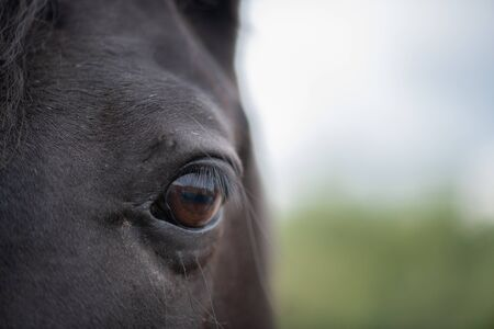 Left brown eye with eyelashes and short hair around of black mare Reklamní fotografie
