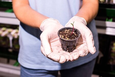 Gloved hands of female greenhouse worker holding small black plastic pot with tiny seedling growing in soil